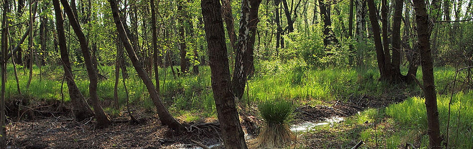 Alluvial alder forests